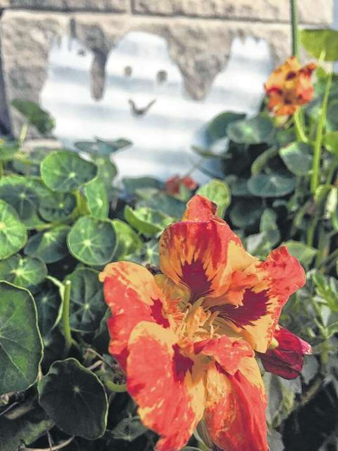 A friendly ghost pops up among the nasturtiums. Photo: Joy Harris | Reader Photo