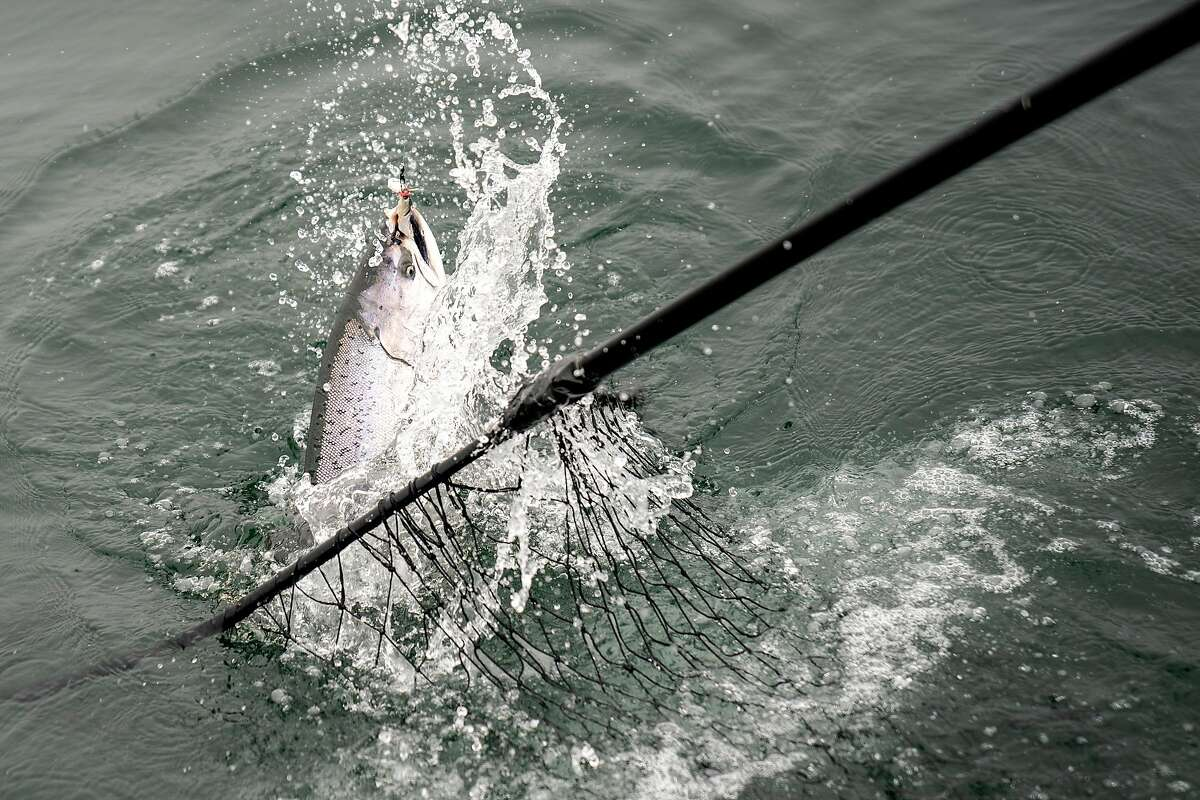Chinook salmon caught on the Wacky Jacky fishing boat on Tuesday, Sept. 18, 2018, off the coast of San Francisco, Calif.