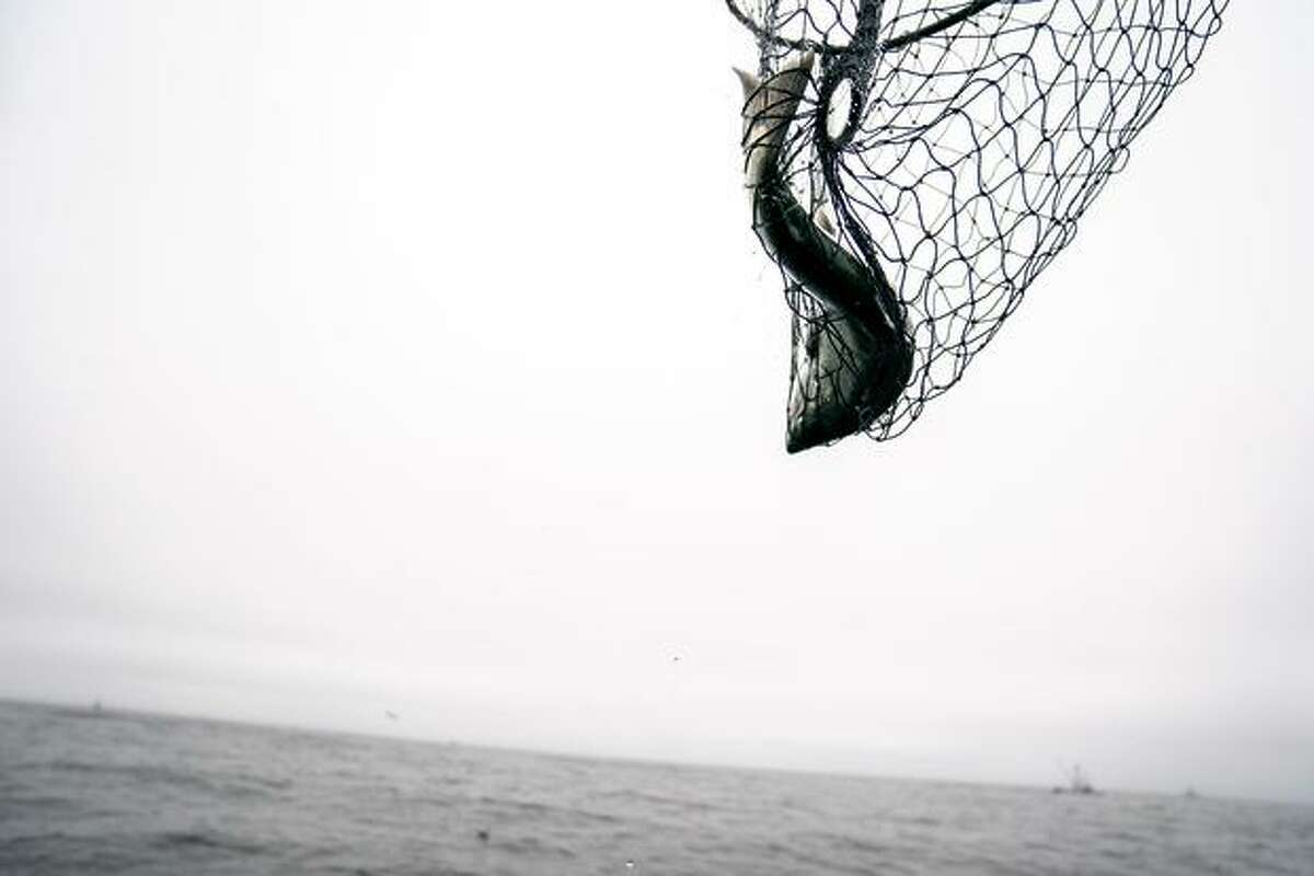 A Chinook salmon is caught and brought into the Wacky Jacky fishing boat.