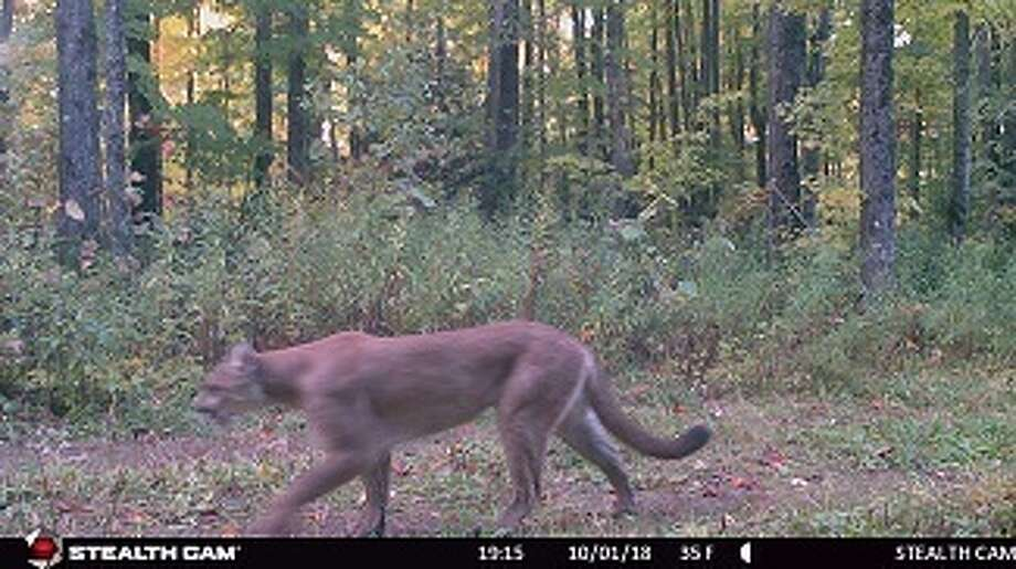 This mountain lion was caught on a Michigan Department of Natural Resources game camera Oct. 1 in Gogebic County.Credit: Michigan Department of Natural Resources. Photo: Credit: Michigan Department Of Natural Resources.