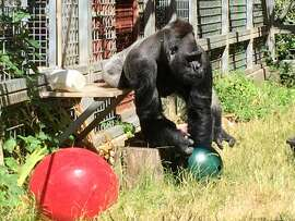 In this 2016 photo provided by the Cincinnati Zoo and Botanical Garden the silverback gorilla Ndume picks up a toy at The Gorilla Foundation's preserve in California's Santa Cruz mountains. The Cincinnati Zoo is suing for the return of Ndume, a gorilla loaned to the conservatory in 1991 as a companion for Koko, the gorilla famed for mastering sign language. (Ron Evans/Cincinnati Zoo and Botanical Garden via AP)