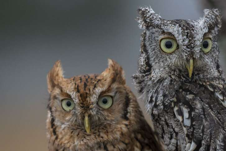 Eastern screech-owls come in two color morphs. They can perch in a tree without being noticed. Photo Credit: Kathy Adams Clark Restricted use.