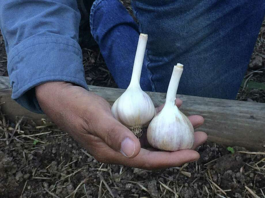Tony Sarmiento holds garlic bulbs ready for separating and planting. Photo: Adrian Higgins, The Washington Post / The Washington Post / The Washington Post