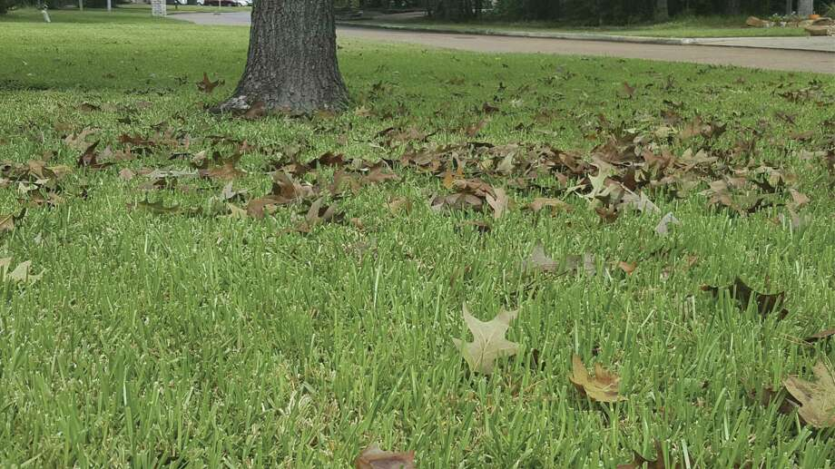Fallen leaves are a good source of nutrients for the lawn and landscape.