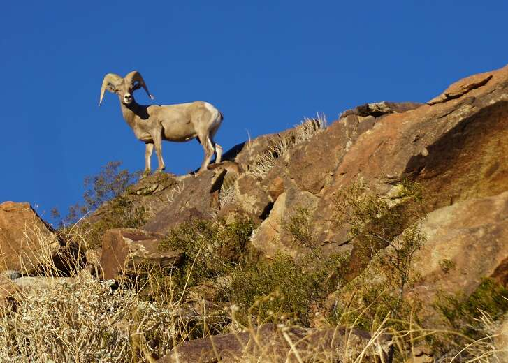 Big horn sheep in the mountains surrounding the Coachella Valley.