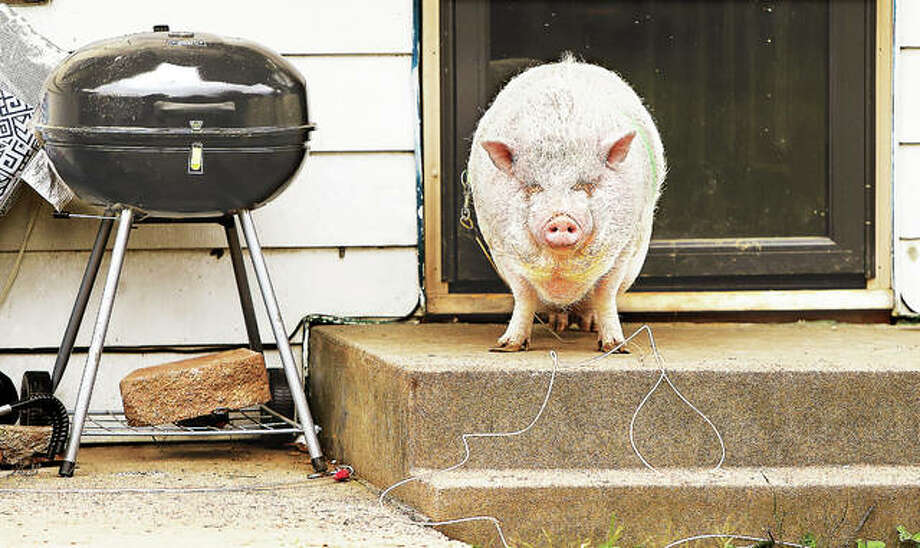 """""""You shall not pass,"""" is what it looks like a pot-bellied pig is thinking as he stands watch on the front steps of a house on Mayfield Avenue in Alton. Photo: John Badman 