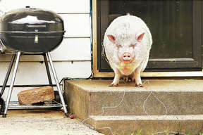 """""""You shall not pass,"""" is what it looks like a pot-bellied pig is thinking as he stands watch on the front steps of a house on Mayfield Avenue in Alton."""