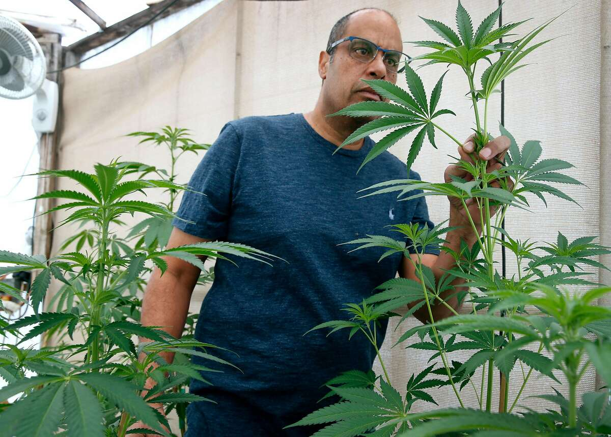 Alexis Bronson inspects marijuana plants in the greenhouse at his home in Oakland, Calif. on Wednesday, Aug. 8, 2018. Bronson's plan to expand his cloned marijuana plant operation came to an abrupt end when his venture through Oakland's cannabis equity program never materialized and has now lost his cultivation permit issued by the state Bureau of Cannabis Control.