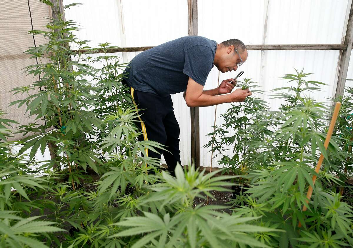 Alexis Bronson inspects his marijuana plants through a magnifier in the greenhouse at his home in Oakland, Calif. on Wednesday, Aug. 8, 2018. Bronson's plan to expand his cloned marijuana plant operation came to an abrupt end when his venture through Oakland's cannabis equity program never materialized and has now lost his cultivation permit issued by the state Bureau of Cannabis Control.