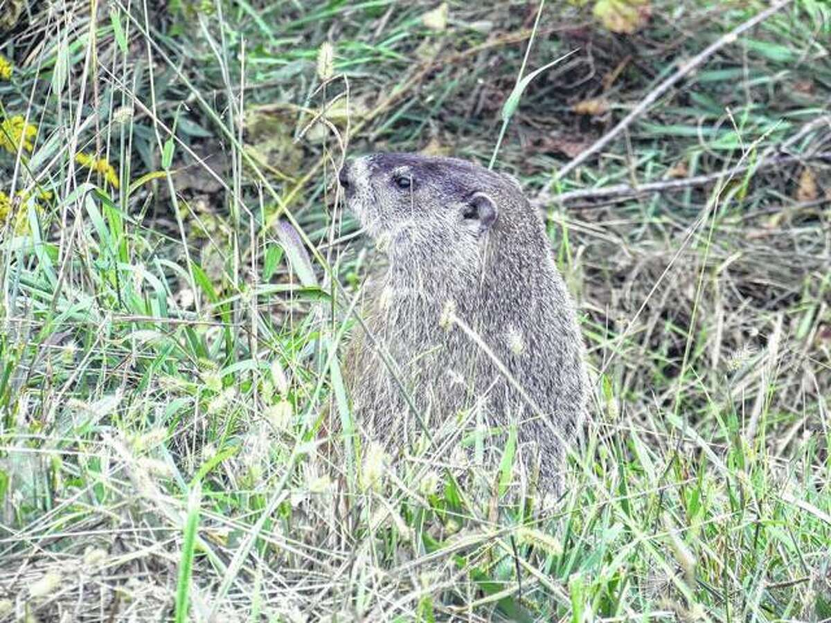 A groundhog pops up along the road west of Scottville.