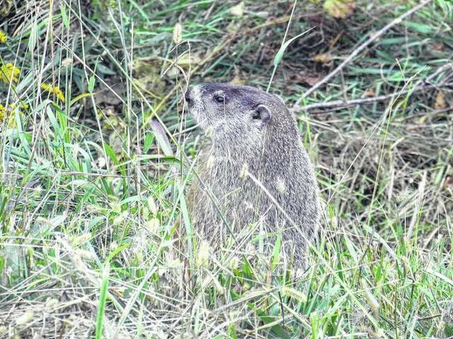 A groundhog pops up along the road west of Scottville. Photo: Beverly Watkins | Reader Photo