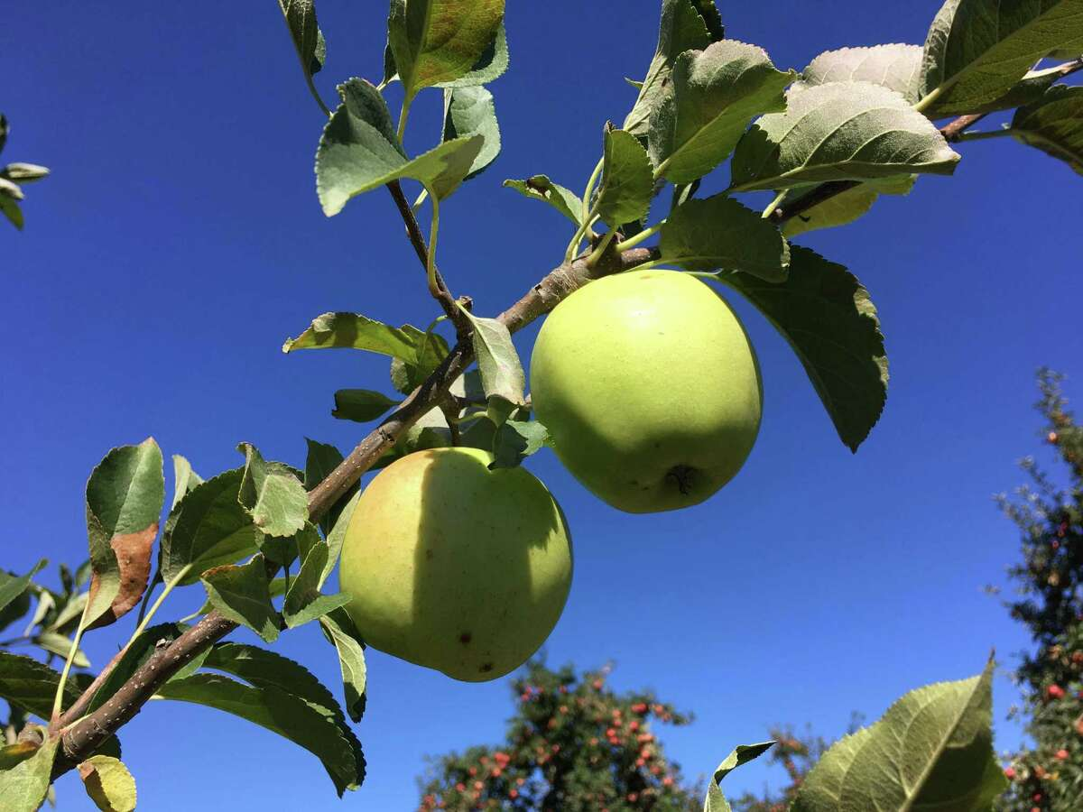 Apples of all varieties are ripe for the picking at Lyman Orchards in Middlefield.