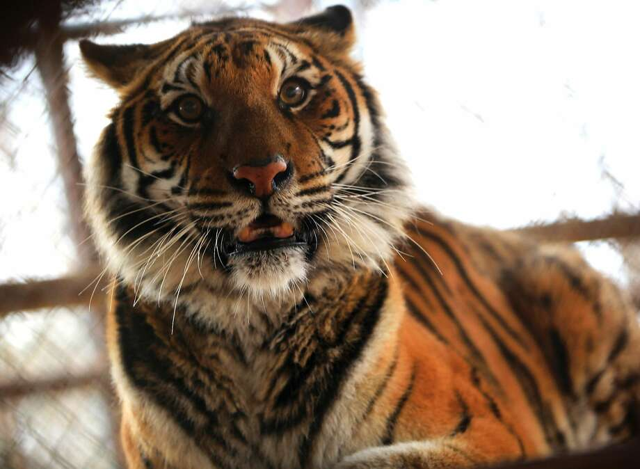 A tiger is seen in an enclosure at the In-Sync Exotics Wildlife Rescue and Education Center in Wylie, Texas, Monday Feb.. 10, 2014. Photo: Mona Reeder / AP