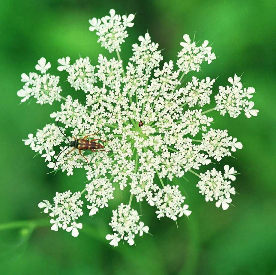 "The ""flower"" of the Queen Anne's Lace plant is actually a flat, round cluster of many small blossoms called an umbel.  Often, there is also a single red flower in the center of the umbel. Photo: Bill Danielson"