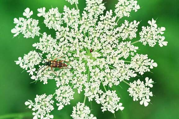 "The ""flower"" of the Queen Anne's Lace plant is actually a flat, round cluster of many small blossoms called an umbel.  Often, there is also a single red flower in the center of the umbel."