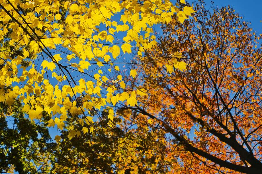 Sunlight illuminates changing leaves on Monday, Oct. 29, 2018 in Midland's Revere Park. (Katy Kildee/kkildee@mdn.net) Photo: (Katy Kildee/kkildee@mdn.net)
