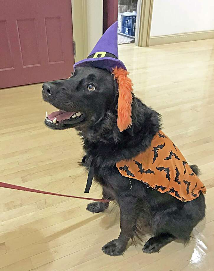 """Outfitted for the part, Bo-Bo visited Portland Town Hall Monday afternoon, on the prowl for Halloween treats. A Flat Coat/Golden Retriever mix, Bo-Bo, a Portland pound dog owned by Sharon Hoy, also does duty as a therapy dog at Hartford Hospital. He """"dresses up"""" for all occasions, Hoy said. Portland resident Susan Jackman, who encountered Bo-Bo at Town Hall, said, """"He's just beautiful!"""" Photo: Jeff Mill / Hearst Connecticut Media"""
