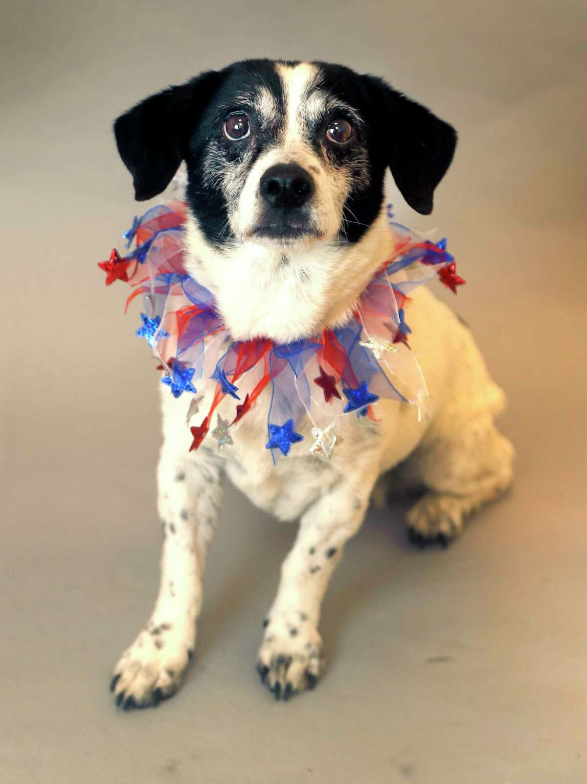 CHICA (Animal ID: 91289) Chica is a senior dog who is12-years-old, female terrier/Jack Russell, mixed breed, very mellow, housetrained and love toys, and is available for adoption from the Houston SPCA. Photographed, Tuesday, Oct. 30, 2018, in Houston.