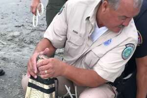 A Texas Parks and Wildlife employee wrangles an alligator on the beach in Galveston.