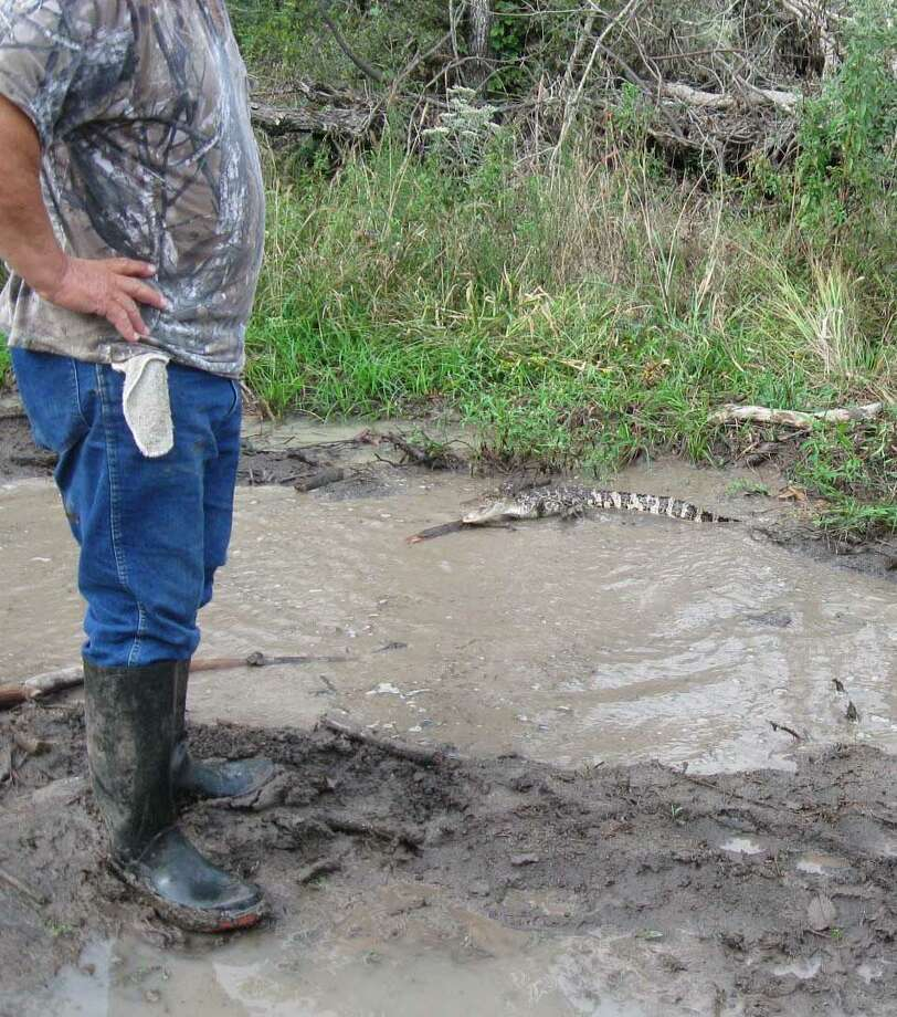 Tex Bonin started into a puddle of water with his truck and this alligator ran out the other side. Photo: Tex Bonin