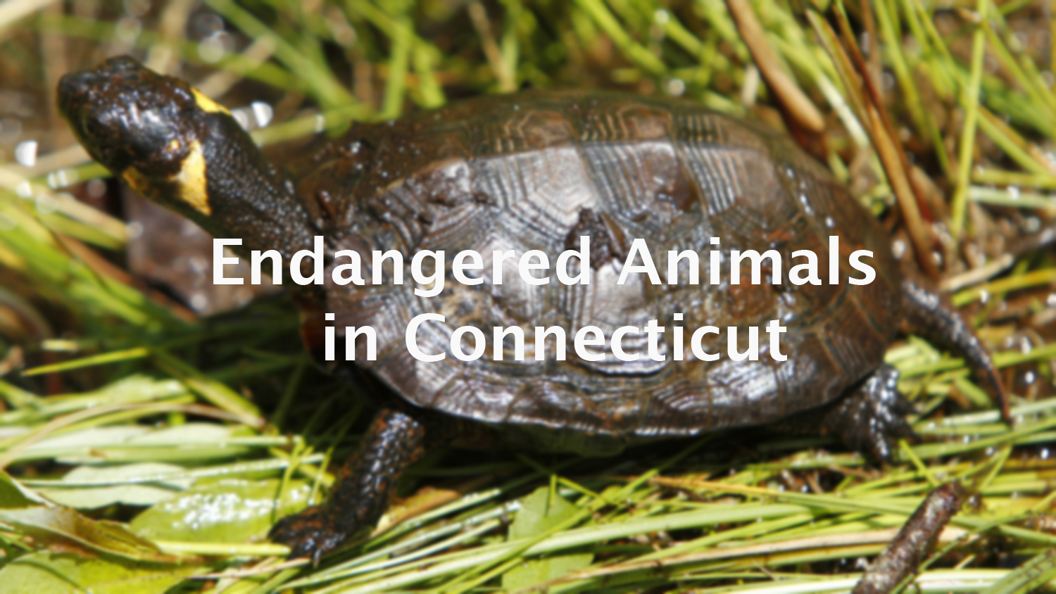 These are the endangered species you might encounter in CT