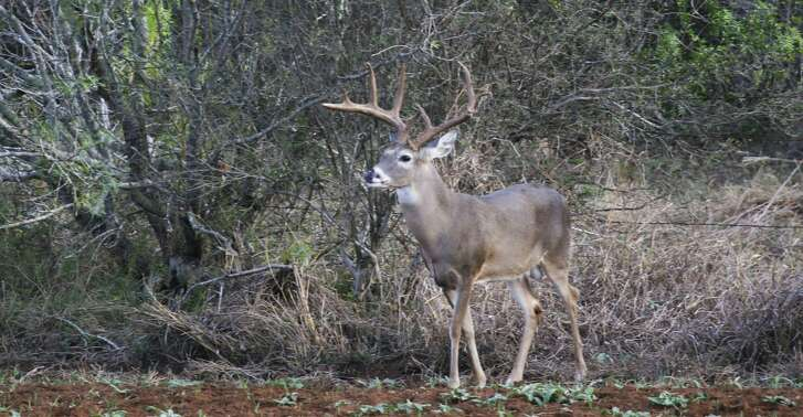 While a siege of hot, dry conditions during July and August almost certainly slowed whitetail bucks' antler development in some areas of Texas, hunters headed afield for the Nov. 3 statewide opening of the general white-tailed deer season shouldn't see a significant decline in antler quality.