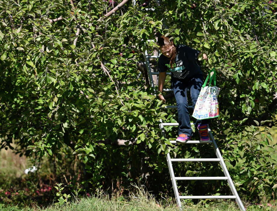 Emily Turriglio climbs from a tree picking apples Monday afternoon Oct. 12, 2015, at the Lindsey's Orchards in Clifton Park, N.Y.   (Skip Dickstein/Times Union) Photo: SKIP DICKSTEIN, ALBANY TIMES UNION / 10033728A