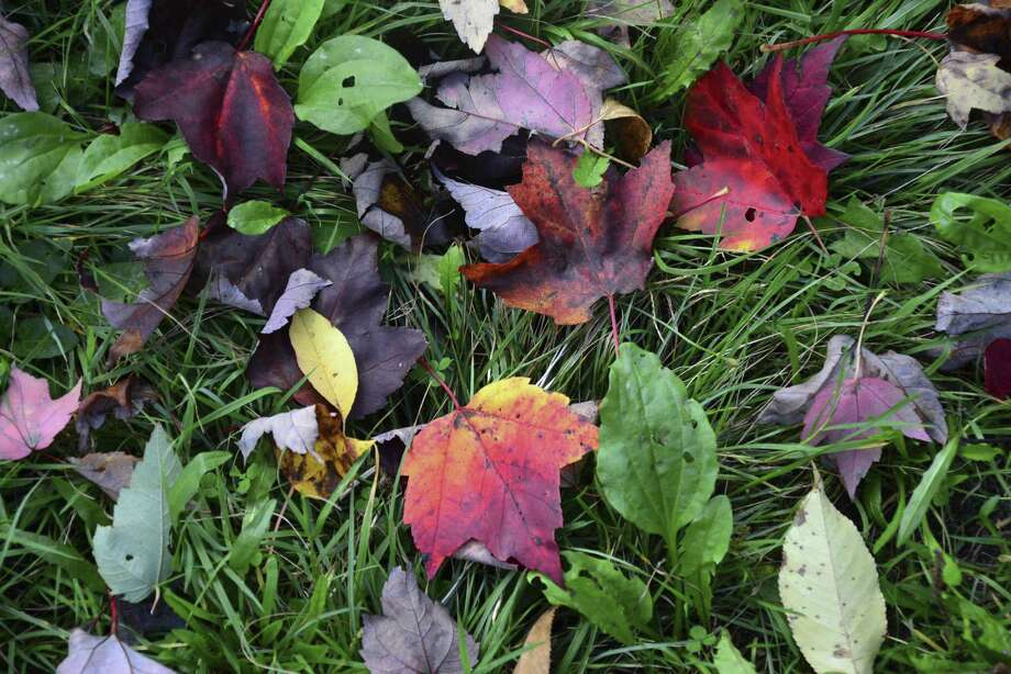 Milford's annual leaf pickup program will begin on Wednesday, Nov. 7. City crews will pick up leaves in paper leaf bags until the first snowfall. File photo. Photo: Gillian Jones / Associated Press / The Berkshire Eagle
