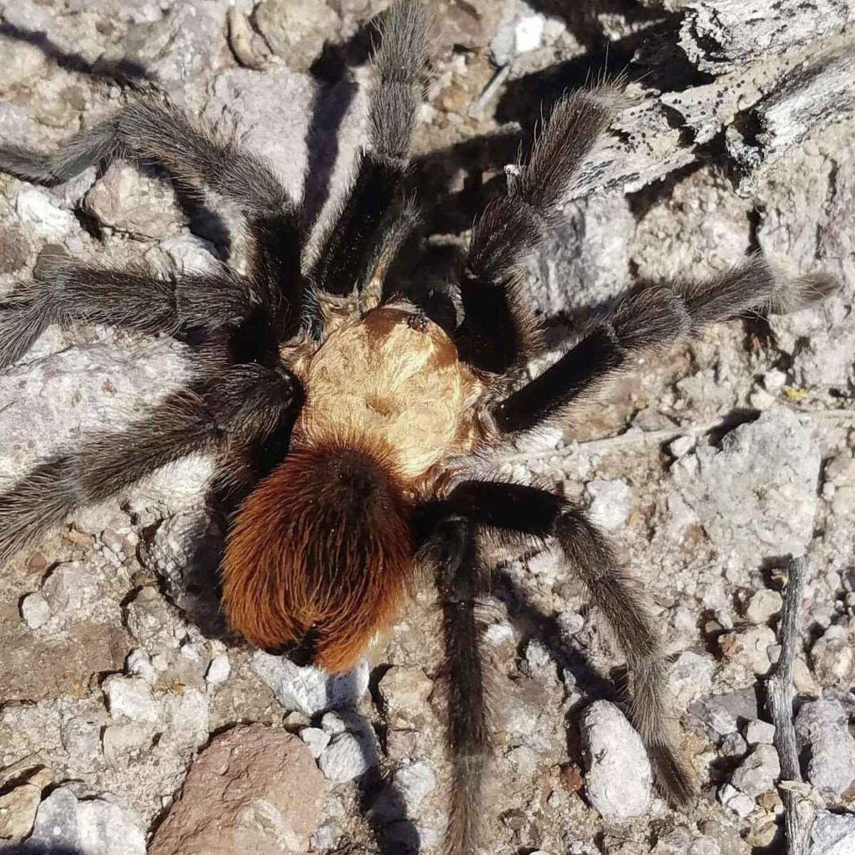 The Texas Parks and Wildlife Department shared a video of a tarantula