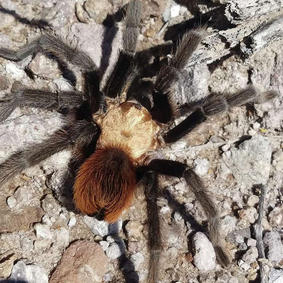 "The Texas Parks and Wildlife Department shared a video of a tarantula ""swimming"" at Big Bend Ranch on Halloween. The video quickly garnered thousands of views on social media. The tarantula is pictured above. Photo: Courtesy Of Texas Parks And Wildlife Department"