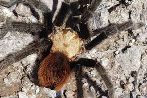 "The Texas Parks and Wildlife Department shared a video of a tarantula ""swimming"" at Big Bend Ranch on Halloween. The video quickly garnered thousands of views on social media. The tarantula is pictured above."