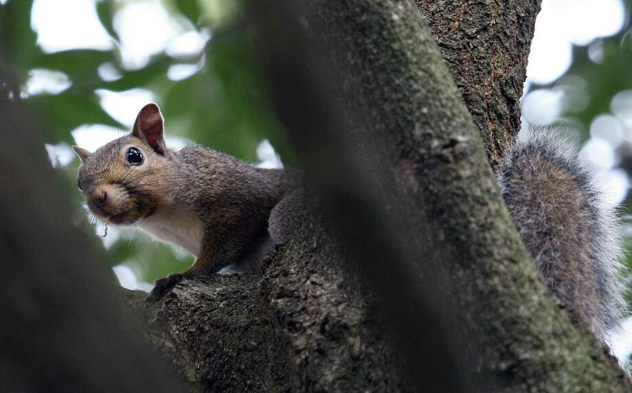 Gray squirrels will have to search far and wide for acorns this fall. Photo: Shannon Tompkins / Houston Chronicle