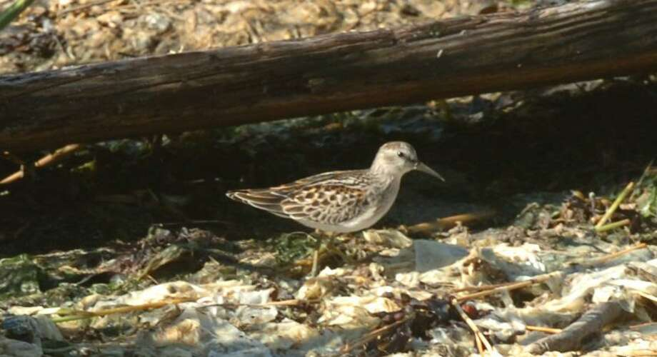"A sandpiper is spotted at Greenwich Point. Join the Bruce Museum for the ""First Sunday Bird Walk"" at Greenwich Point Park from 9 to 11:15 a.m. Sunday.View birds in their habitats on this leisurely walk. Bring binoculars. Meet near southern concession stand. Free. No registration required. Photo: File / 00004185A"