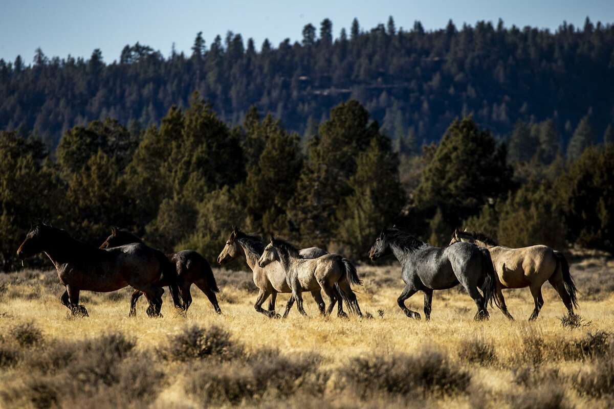 Wild horses roam on the land of the Modoc National Forest, a 1,654,392-acre national forest in the High Desert near the city of Alturas in Northern California, on Wednesday, Oct. 17, 2018 in Alturas, Calif. (Kent Nishimura/Los Angeles Times/TNS)
