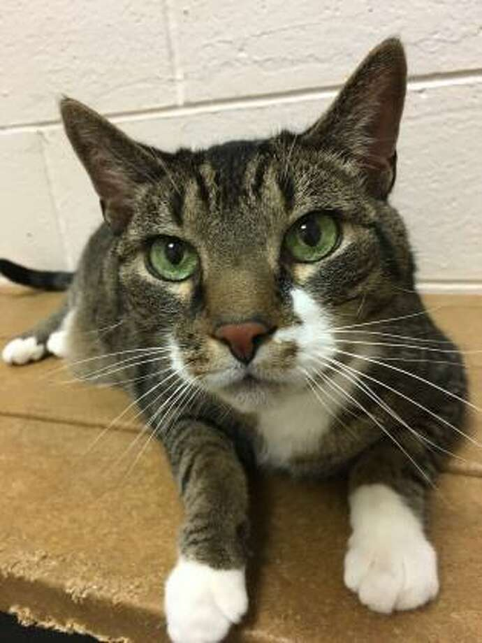 This awesome cat is KC. He can live in any size home, including apartments. KC is 12 years young and he would love to live with kids of any age. This kitty has not had much experience with cats or dogs but he may be willing to consider sharing his home with a furry friend. KC is declawed (front) so for his safety, he must be an indoor only cat. He is a quiet and reserved kitty and he would like a quiet place to nap in a loving, peaceful home. KC is presently at our Westport Adoption Center. Remember, the Connecticut Humane Society has no time limits for adoption. Inquiries for adoption should be made at the Connecticut Humane Society located at 701 Russell Road in Newington or call toll free: 1-800-452-0114. Photo: Contributed Photo