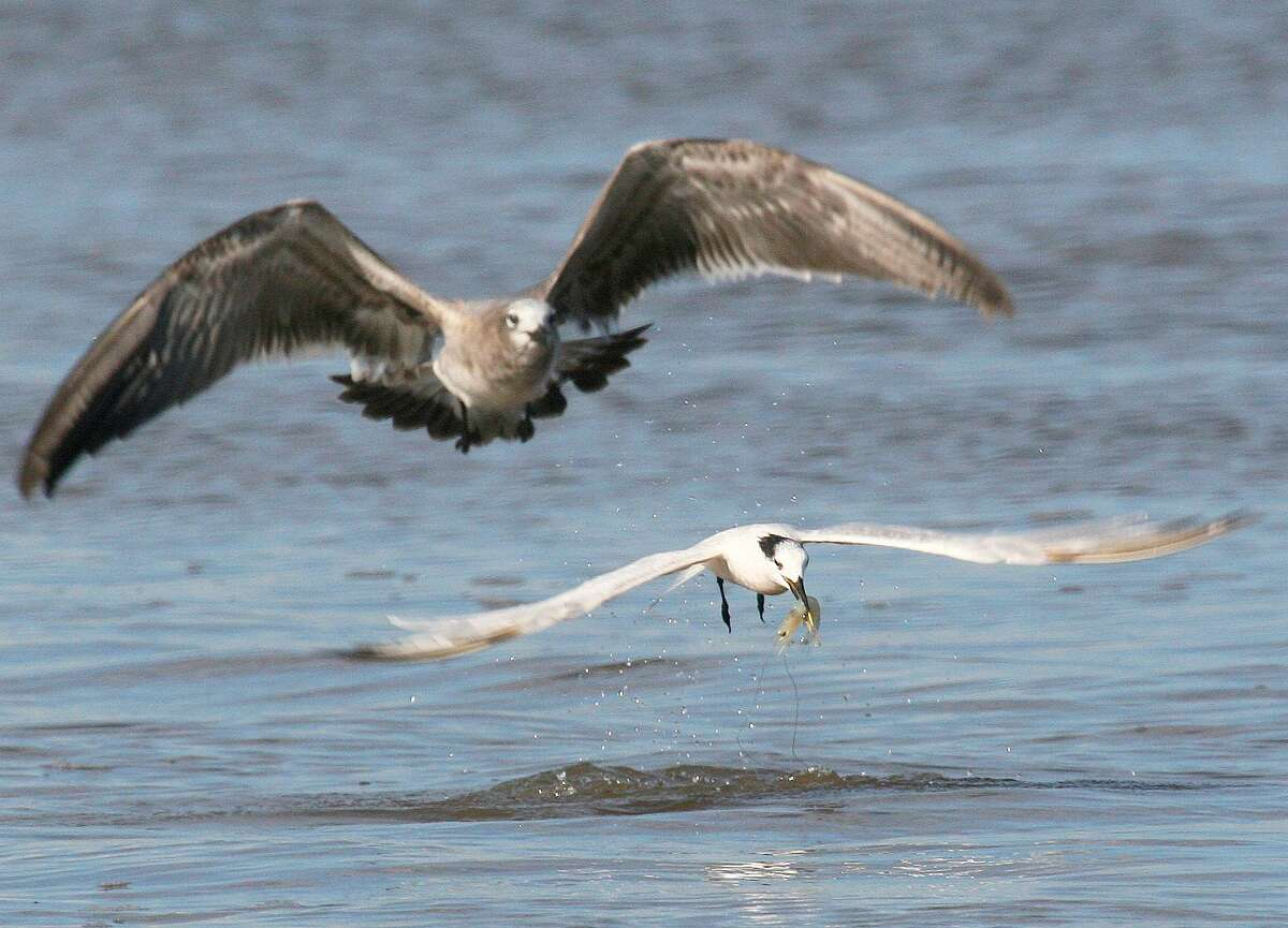 A tern snatches a white shrimp missed by a speckled trout that made the boil beneath the bird. During autumn, coastal anglers can enjoy fast fishing by keying on flocks of gulls and terns shadowing feeding schools of trout and other predator fish.