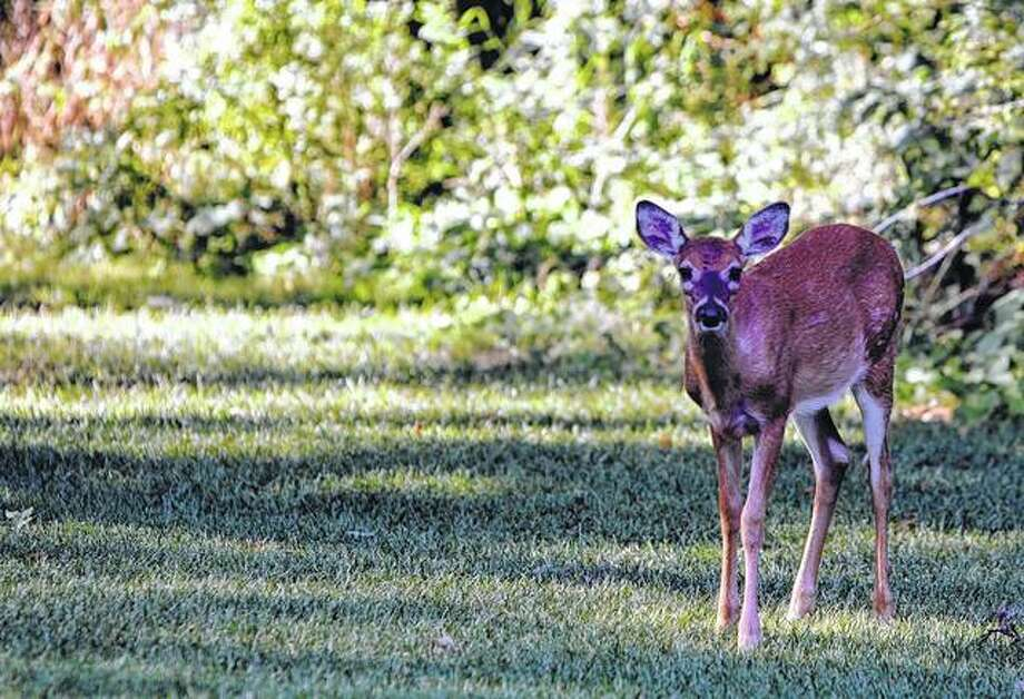A deer wanders onto a golf course in Sugar Grove. Photo: David Cannon | Getty Images