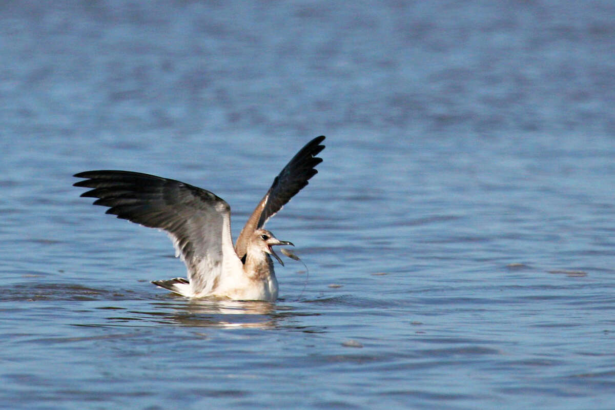 A gull snatches a shrimp driven to the surface by a feeding school of speckled trout. Flocks of gulls and terns shadowing schools of trout plundering migrating shrimp can point coastal anglers to fast fishing during autumn.