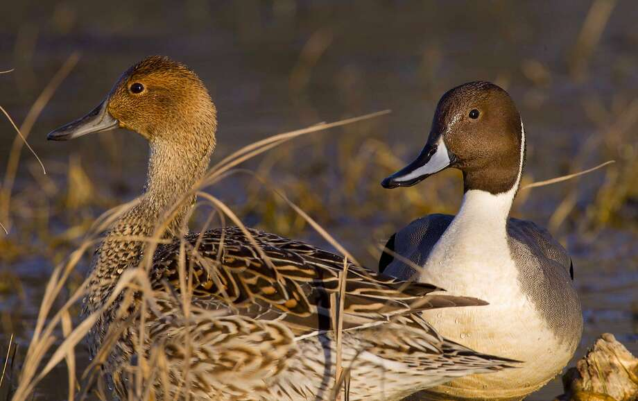 A mated pair of northern pintail ducks at Colusa National Wildlife Refuge Photo: Tom Stienstra / Mike Peters / Special To The Chronicle
