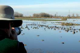 At the viewing deck at Colusa National Wildlife Refuge, photographer Andy Lacasse zooms in on ducks and geese