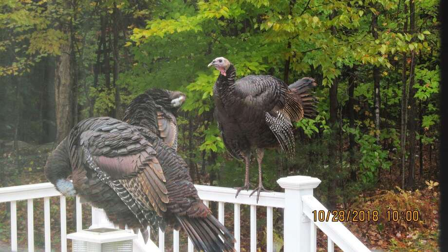 A family of turkeys has returned to the home of the Kirk family for a number of years. They arrived Oct. 28 for their yearly visit. Photo: Kirk Family / Contributed Photos