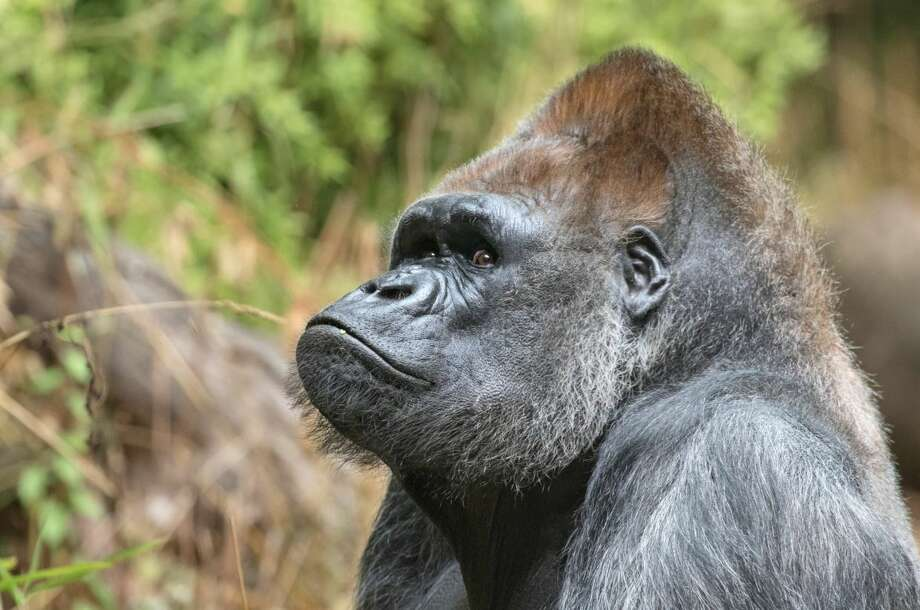 Pete, Woodland Park Zoo's oldest gorilla, has died at age 50. Photo: Courtesy Woodland Park Zoo Twitter