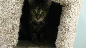 Aileen is a 2-year-old female domestic shorthair mix available for adoption at the Mohawk Hudson Humane Society in Menands.