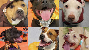 Nearly 80 cats, dogs and rabbits are looking for homes this November. Click through the slideshow to meet them all.   For up-to-date adoption information from the Mohawk Hudson Humane Society in Menands, visit  mohawkhumane.org/adopt .