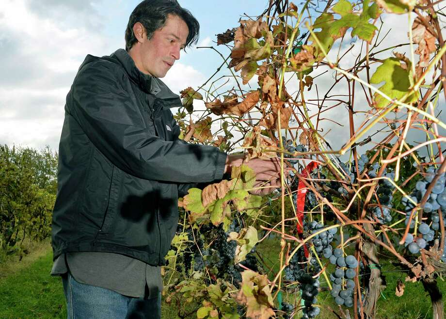 Vintner Mike DiCrenscenzo field sorts his crop of Kandiyohi grapes ready for a late harvest red wine at his Altamont Winery Wednesday Oct. 24, 2018 in Altamont, NY.  (John Carl D'Annibale/Times Union) Photo: John Carl D'Annibale / 20045253A