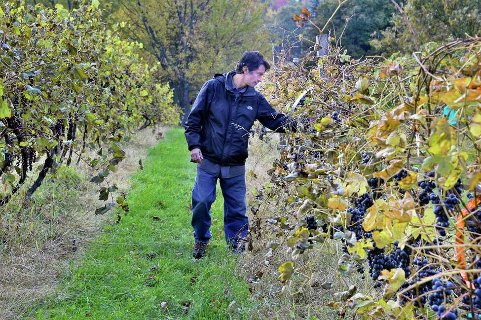 Vintner Mike DiCrenscenzo field sorts his crop of Kandiyohi grapes ready for a late harvest red wine at his Altamont Winery Wednesday Oct. 24, 2018 in Altamont, NY. (John Carl D'Annibale/Times Union)