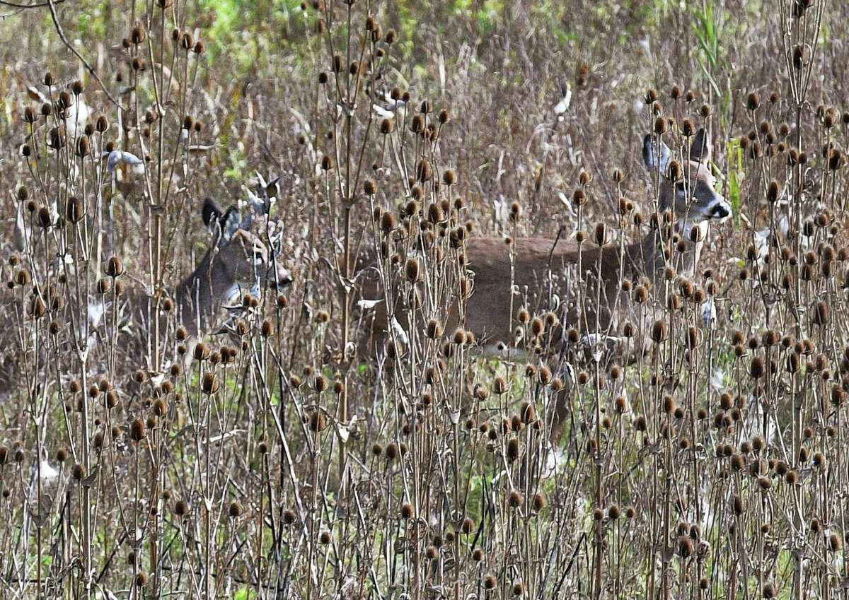 White-tailed deer in the brush along Route 787 Wednesday Nov. 7, 2018 in Menands, NY.(John Carl D'Annibale/Times Union)