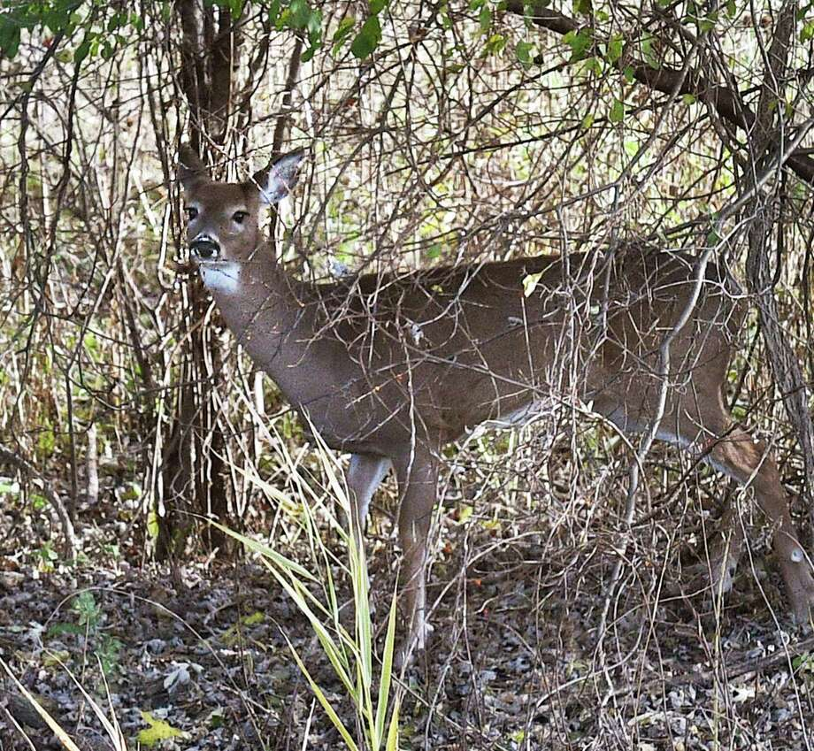 A white-tailed deer in the brush along Route 787 Wednesday Nov. 7, 2018 in Menands, NY.(John Carl D'Annibale/Times Union) Photo: John Carl D'Annibale, Albany Times Union / 20045420A