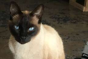 General Tzo, an eight-year-old cat, was allegedly kidnapped from his San Antonio owner by an Airbnb guest.