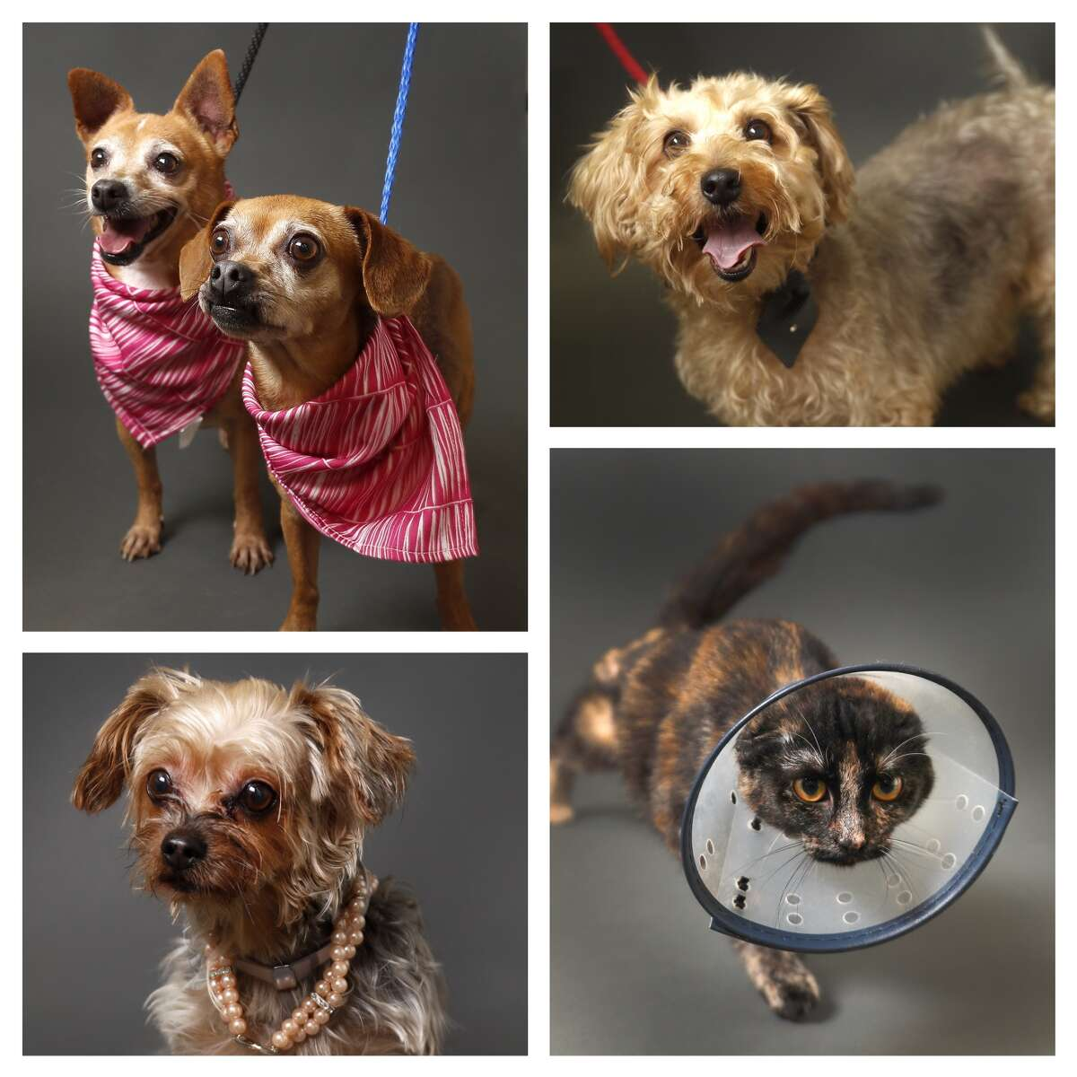 Animals available for adpotion from the Houston Humane Society. Photographed Wednesday, Nov. 7, 2018, in Houston.
